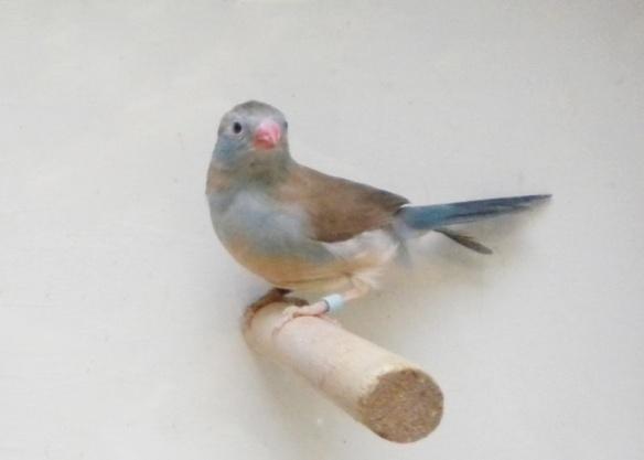 Astrilde azzurro (femmina)