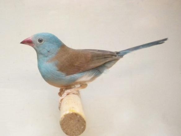 Astrilde azzurro (maschio)