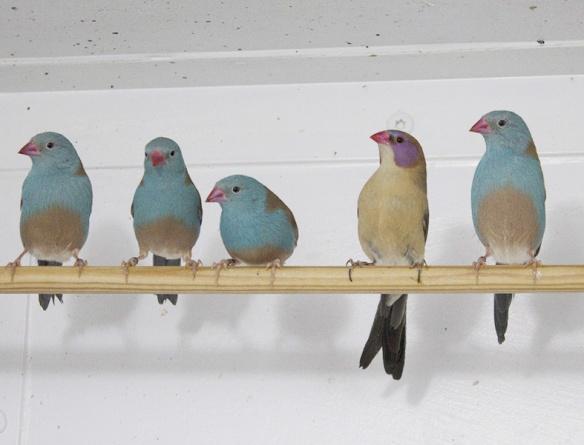Astrilde azzurro (colonia di soggetti)