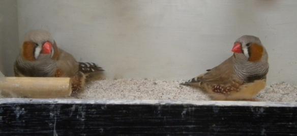 A sinistra d. m. bruno inglese, a destra d. m. bruno europeo