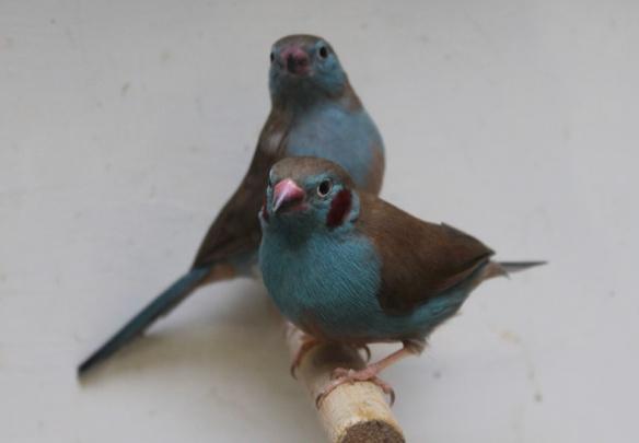 Cordon blu (coppia)