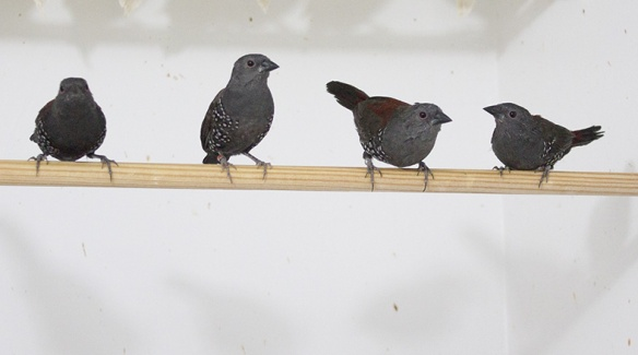Astrilde di Dibowskii (3 femmine e 1 maschio)