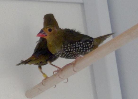 Amaranto dorso verde (femmina)
