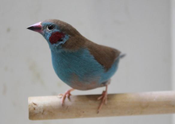 Cordon blu (maschio)
