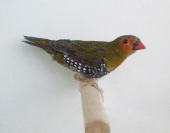 Amaranto dorso verde (maschio)