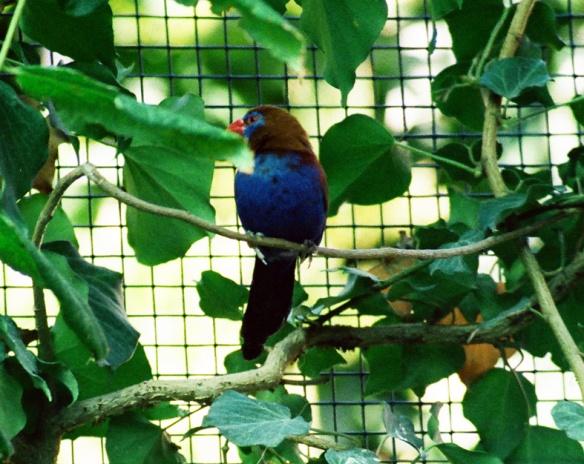 Granatino purpureo (maschio)