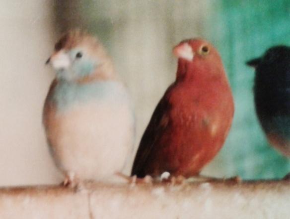 Amaranto del Senegal maschio insieme ad una femmina di Cordon blu