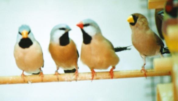 Da SN: Poephila acuticauda, Poephila cincta, Poephila acuticatuda sott. Hecki, Poephila personata