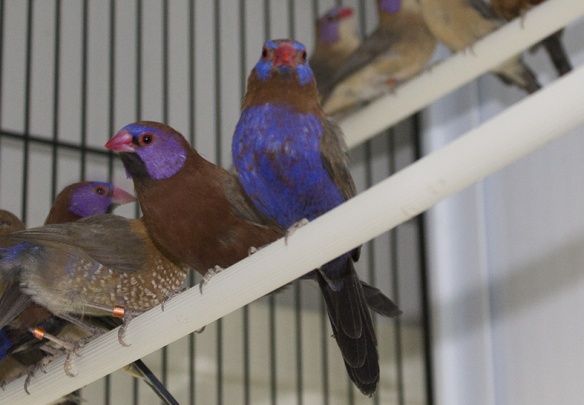 Granatino e granatino purpureo a confronto (maschi)