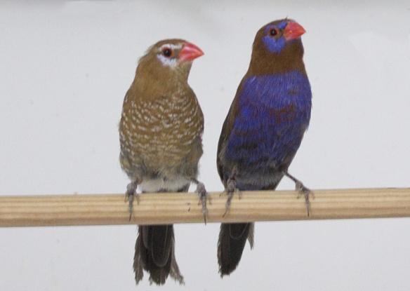 Granatino purpureo (coppia)