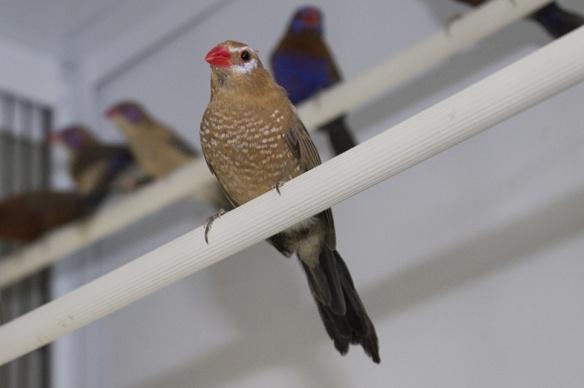 Granatino purpureo (femmina)