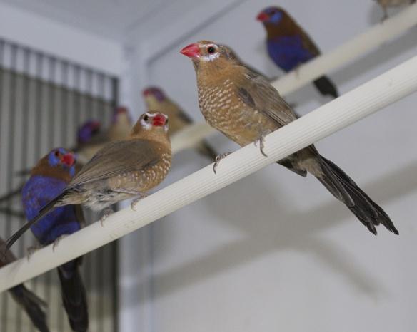 Granatino purpureo (femmine)