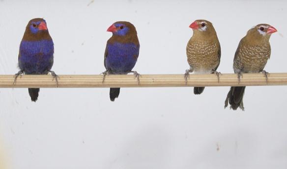 Granatino purpureo (2 maschi e 2 femmine)