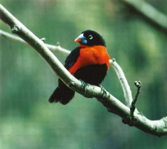 Becco azzurro occidentale (maschio)
