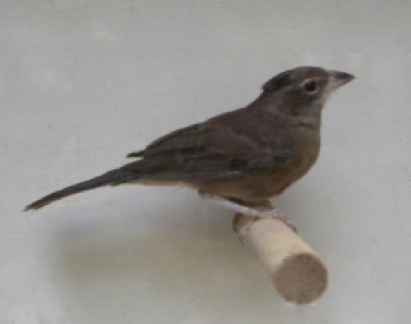 Fringuello coronato (femmina)