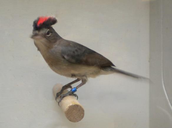 Fringuello coronato (maschio)