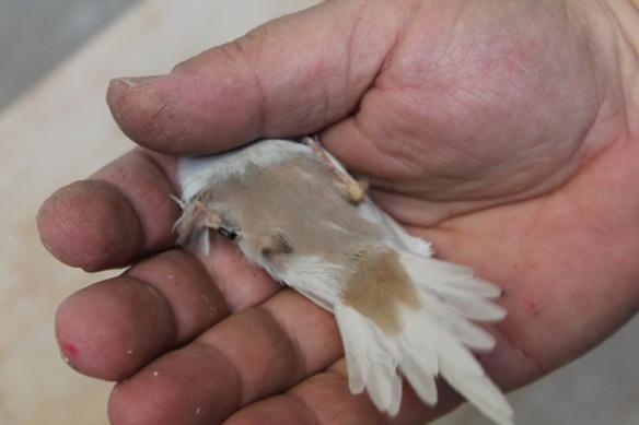 Cordon blu opale (maschio), particolare del ventre