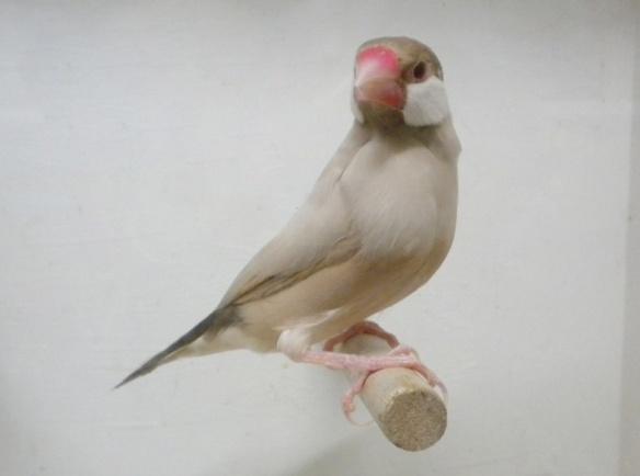 Feomelanico (maschio)