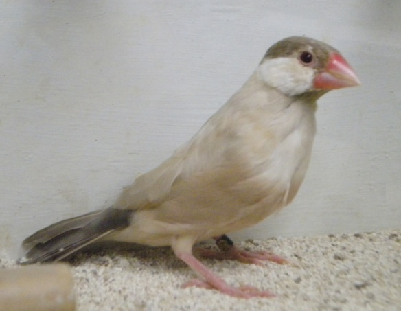 Feomelanico (femmina)