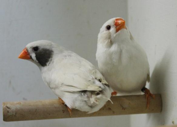 Due femmine a confronto: grigio ino guancia nera e grigio mascherato guancia nera