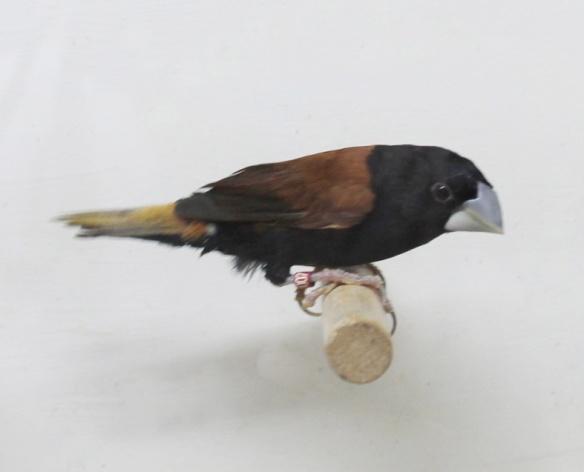 Cappuccino becco grosso (femmina)