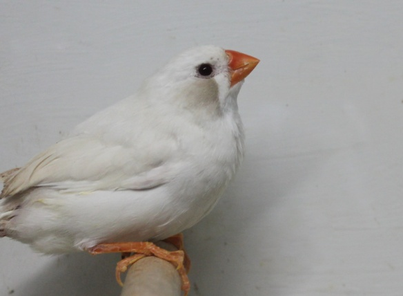 Grigio Ino guancia nera (femmina)