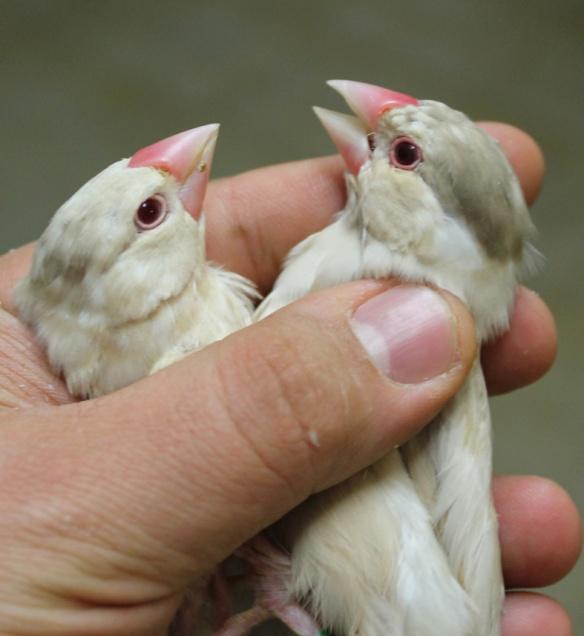 Giovani feomelanico in fase di muta