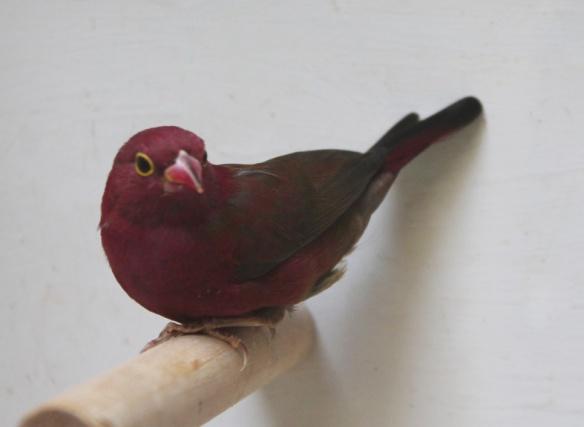 Amaranto del Senegal sott. ruberrima (femmina)