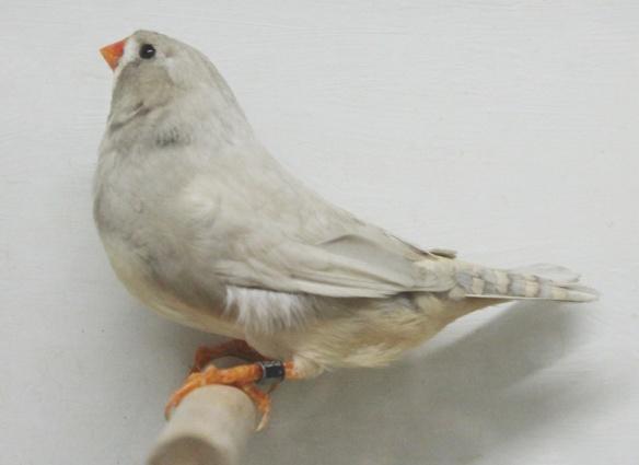 Grigio Diluito (femmina)