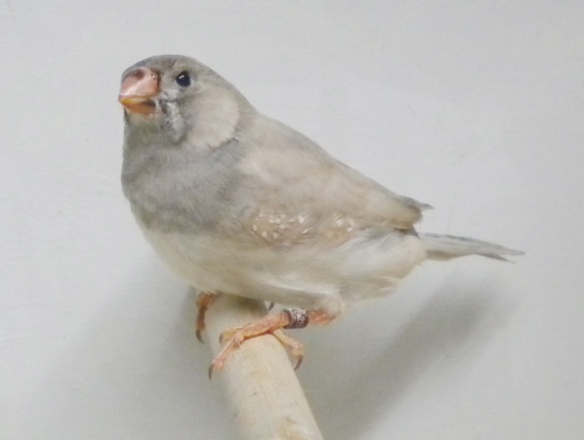 Grigio diluito (giovane maschio)