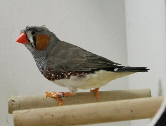 Grigio ciuffato (maschio)