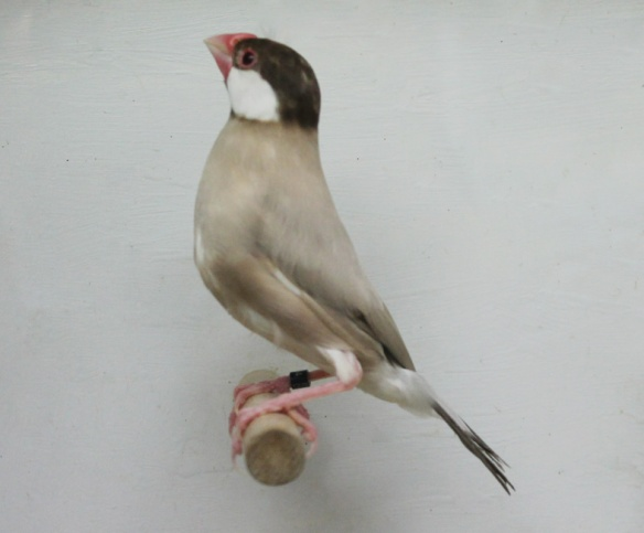 Topazio (maschio)