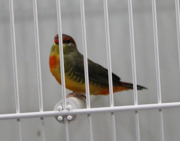 Bengalino ventre arancio (maschio)
