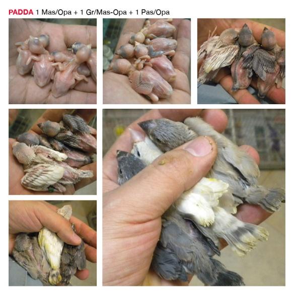 Base PADDA13