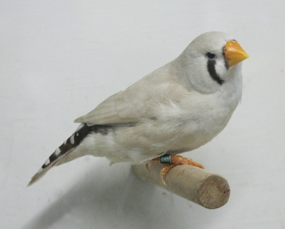 Grigio mascherato o.r. becco giallo (femmina)