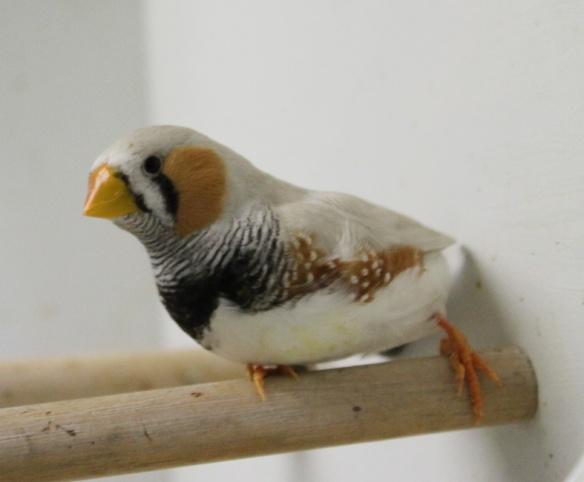 Grigio mascherato o.r. becco giallo (maschio)
