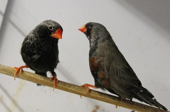 Grigio eumo guancia nera e grigio eumo a confronto (maschi)