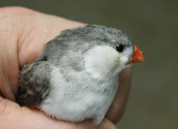 Grigio petto bianco guancia nera (femmina)