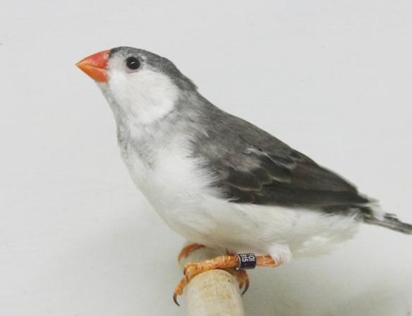 Grigio petto bianco guancia nera (maschio)