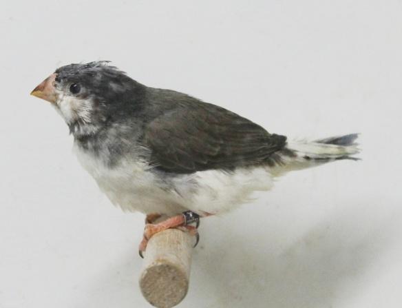 Grigio petto bianco guancia nera in fase di muta