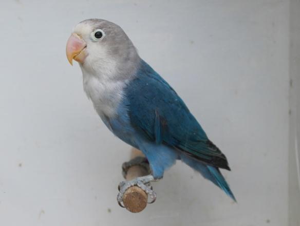 Agapornis fischeri cobalto