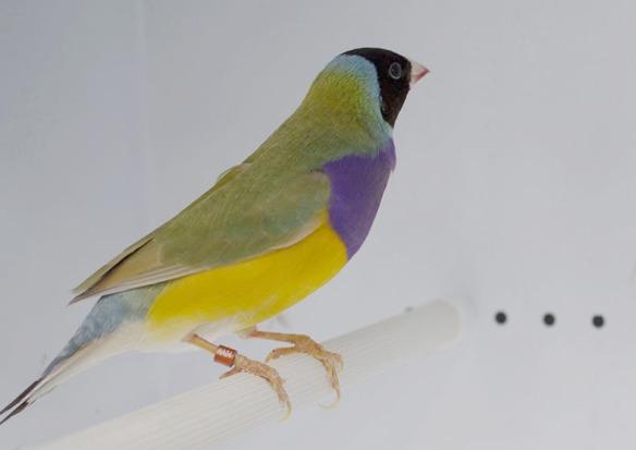 Bruno Testa nera - Petto viola (maschio)