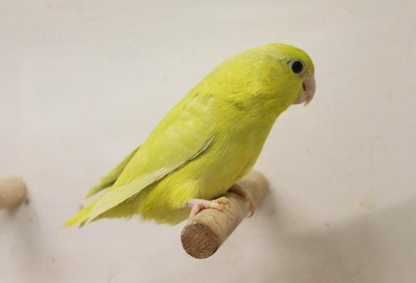 Forpus coelestis giallo americano (femmina)