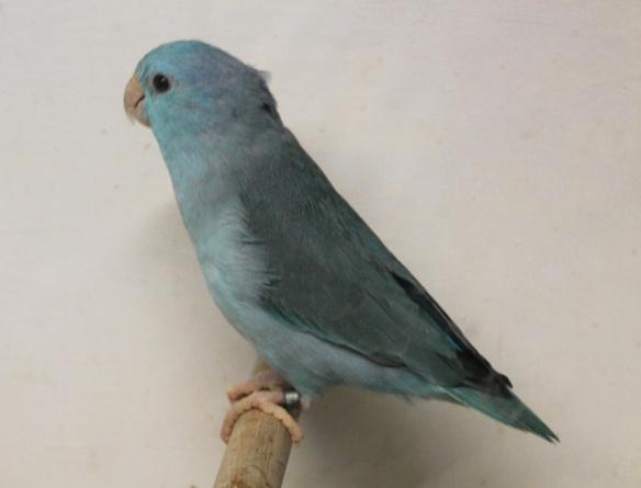 Forpus Coelestis Blu (Femmina)