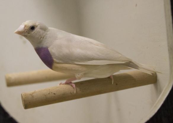 Blu Pastello Testa nera - Petto viola (femmina)