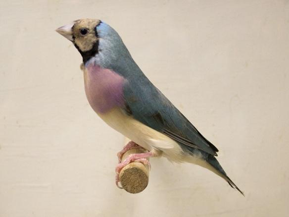 Blu Testa crema - Petto viola (femmina)