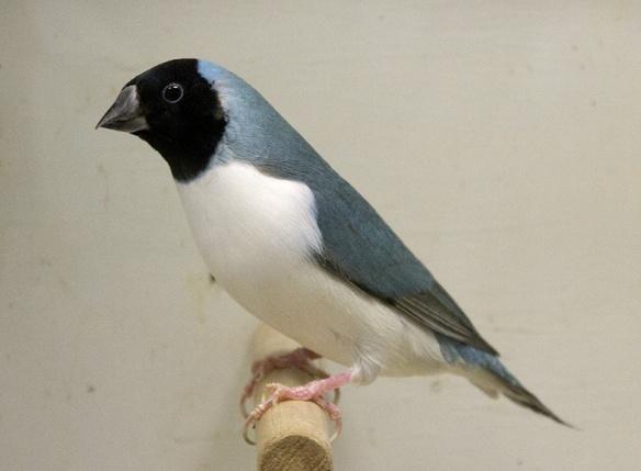 Blu Testa nera - Petto bianco (femmina)