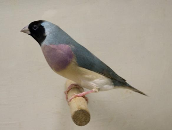Blu Testa nera - Petto viola (femmina)