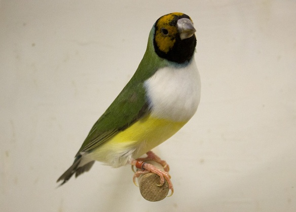 Testa arancio - Petto bianco (femmina)
