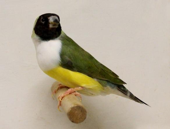 Testa Nera - Petto Bianco (femmina)